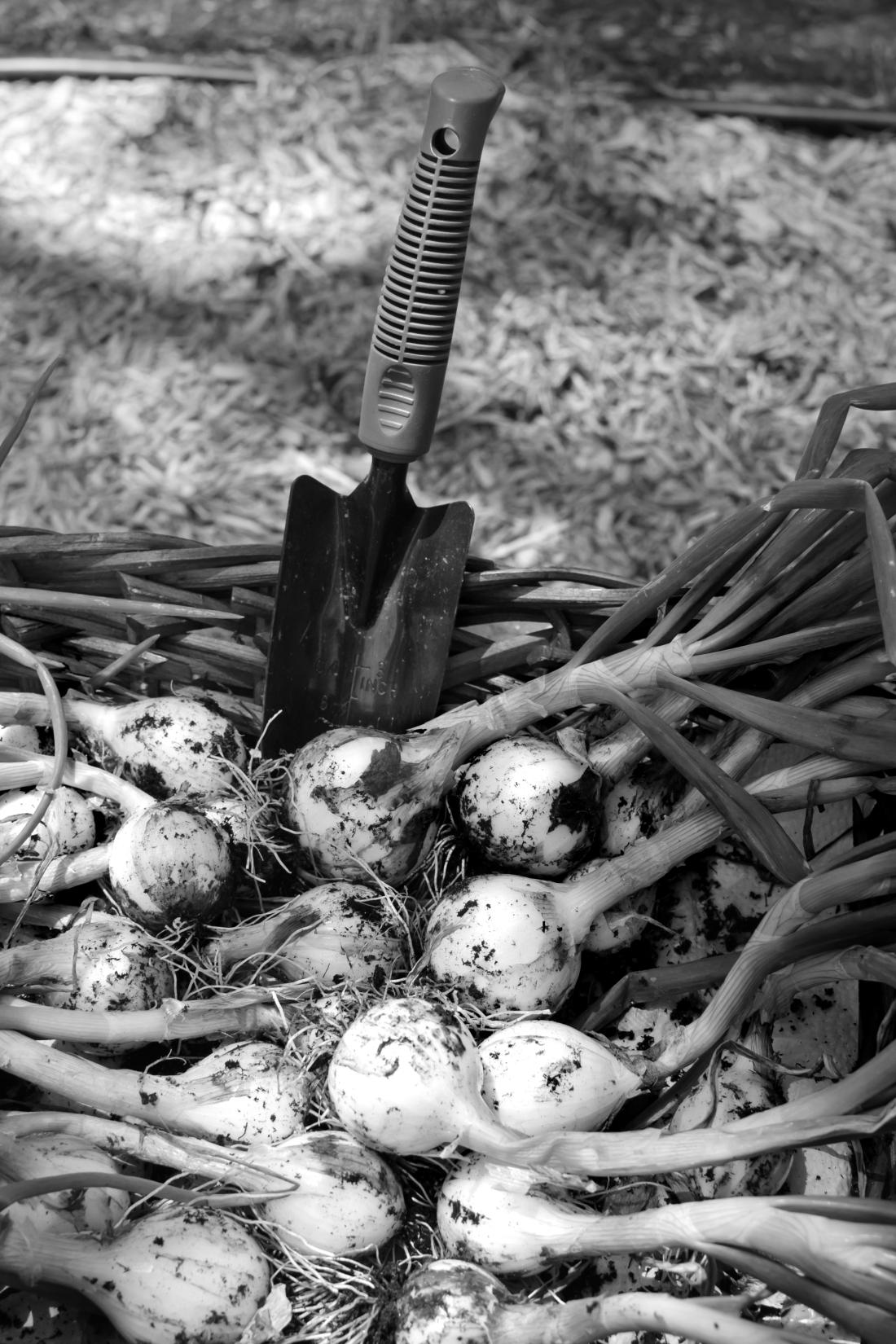 Sweet Georgia Onions